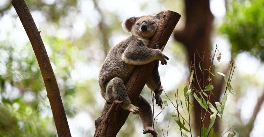 koala-pic